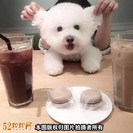 小比熊怎么养?
