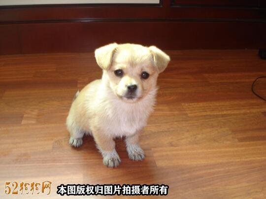 100元的吉娃娃狗图片4