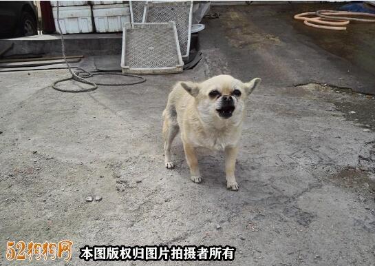 100元的吉娃娃狗图片1