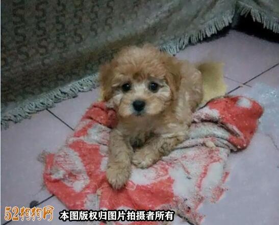 100元的吉娃娃狗图片2