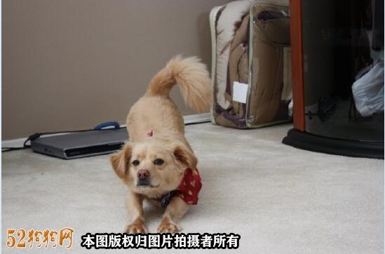 100元的吉娃娃狗图片3