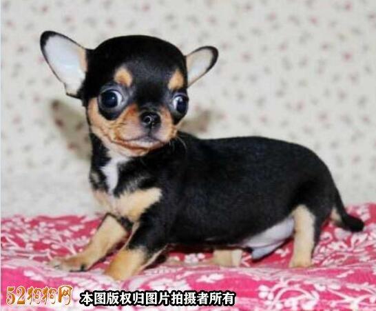纯种吉娃娃狗图片2
