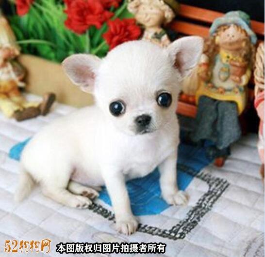 纯种吉娃娃狗图片3