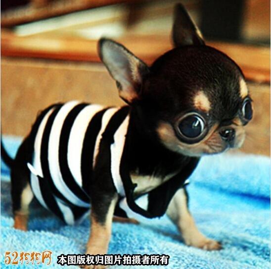 纯种吉娃娃狗图片4