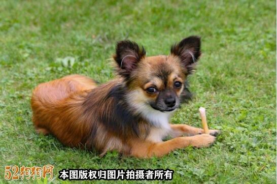 纯种吉娃娃狗图片5