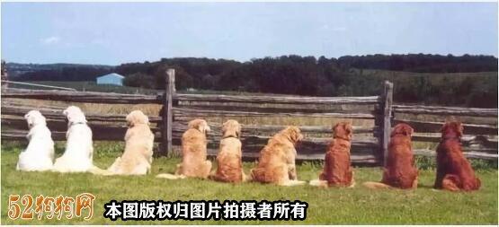 金毛犬有几种颜色