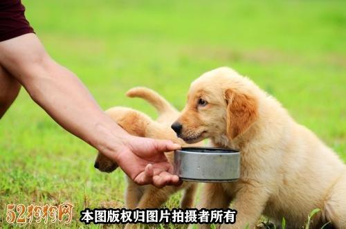 金毛犬幼犬饲养图3