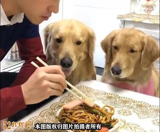 金毛犬幼犬饲养图4