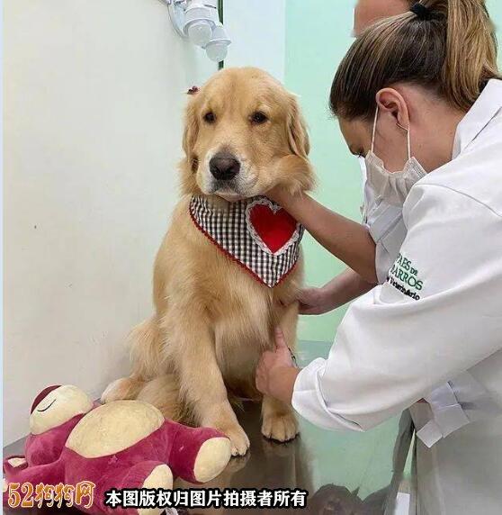 金毛犬幼犬饲养图5