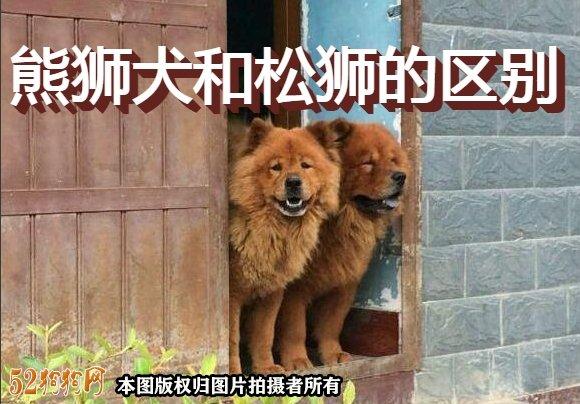 熊狮犬和松狮的区别图1