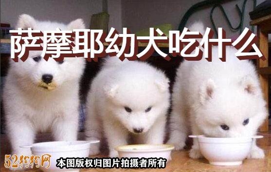 萨摩耶幼犬吃什么图1