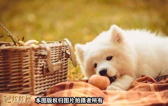 萨摩耶幼犬吃什么图2