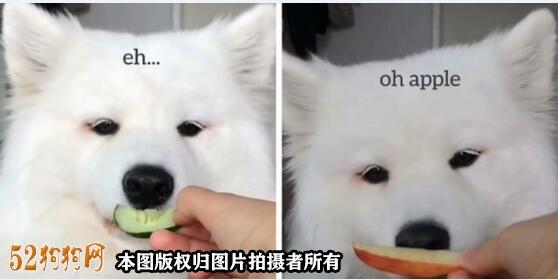 萨摩耶幼犬吃什么图