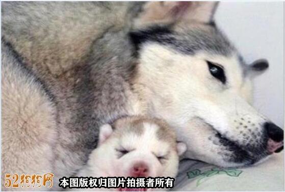 哈士奇宝宝图片6
