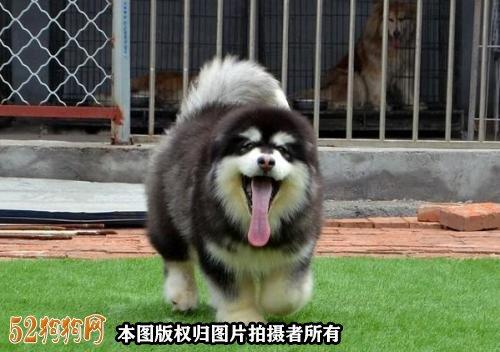 熊版阿拉斯加能长多大