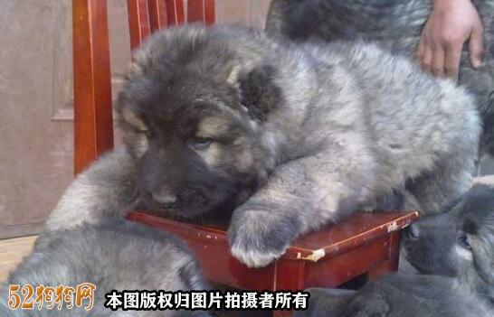养高加索犬的开销一个月多少钱?