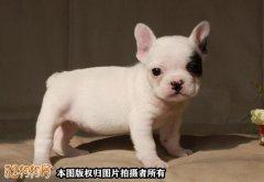 北京法国斗牛犬犬舍