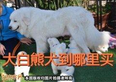 大白熊犬到哪里买?