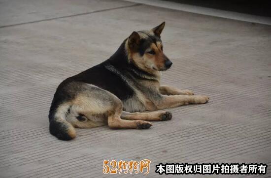 中华田园犬六大品种