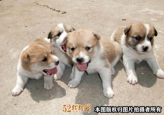 中华田园狗多少钱一只2