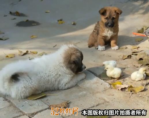 中华田园狗多少钱一只3