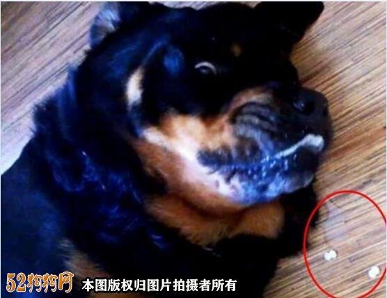 狗狗一直吐!狗狗一直呕吐是什么原因引起的?