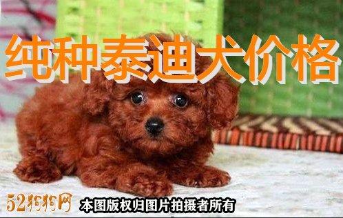 纯种泰迪犬价格