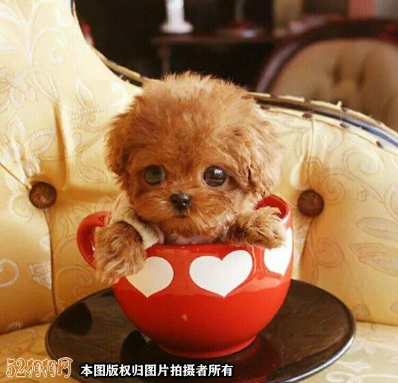 茶杯贵宾犬图片1