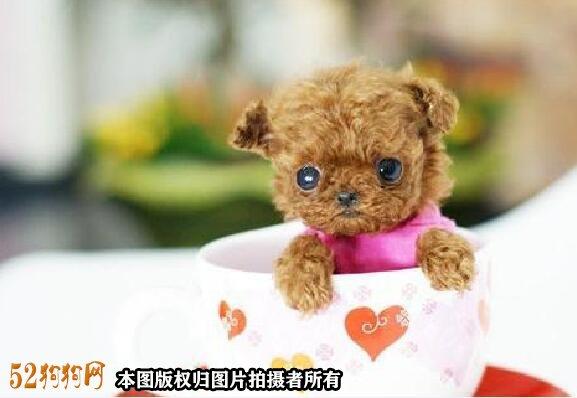茶杯贵宾犬图片2