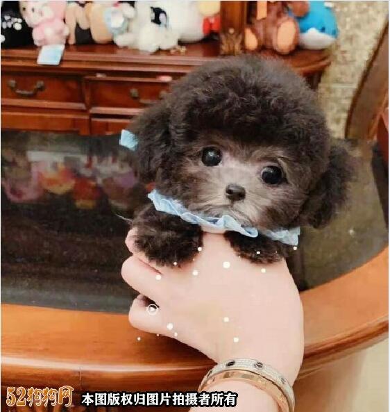 茶杯贵宾犬图片5