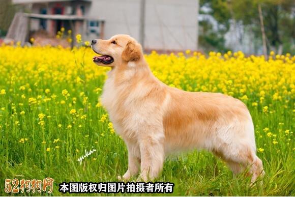 怎样看金毛犬纯不纯