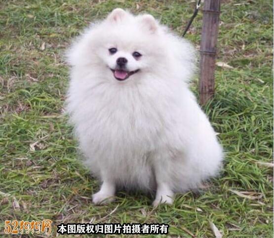 白色博美犬多少钱一只?