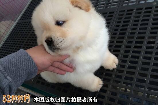 哪里有出售松狮幼犬?