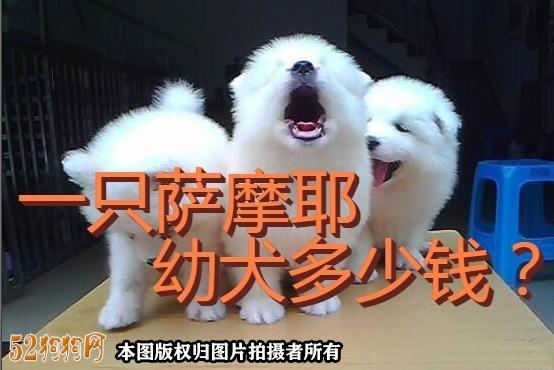 一只萨摩耶幼犬多少钱