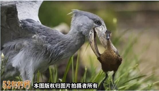 鸟中哈士奇图5