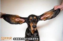 一只耳朵长34厘米!美国最