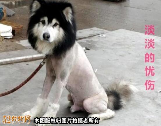阿拉斯加剃毛造型图片1