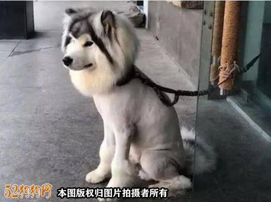阿拉斯加剃毛造型图片2