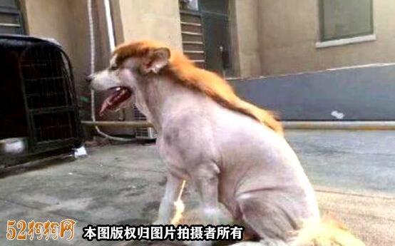 阿拉斯加剃毛造型图片3