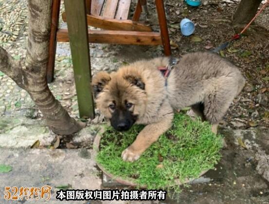 高加索犬图片价格表2