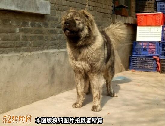 高加索犬图片价格表7
