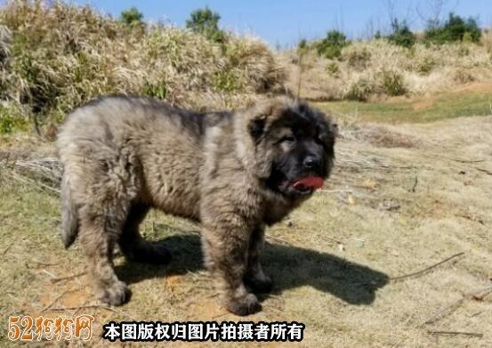 高加索犬图片价格表9