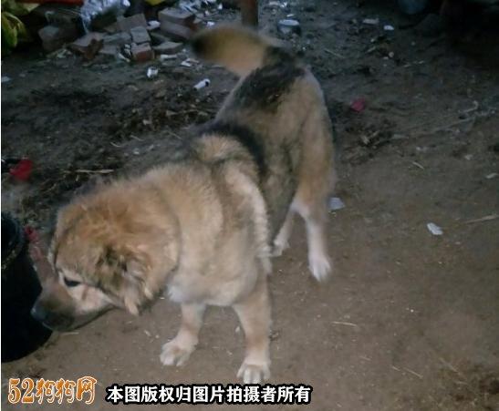 高加索犬图片价格表11