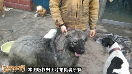 高加索犬图片价格表13