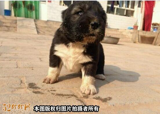 高加索犬图片价格表14