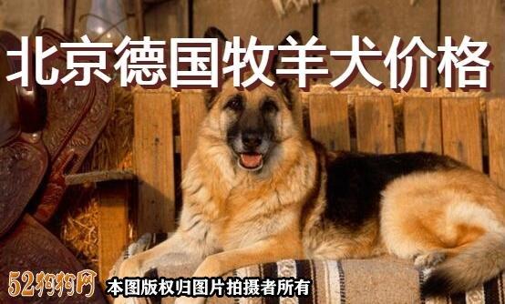 北京德国牧羊犬价格图1