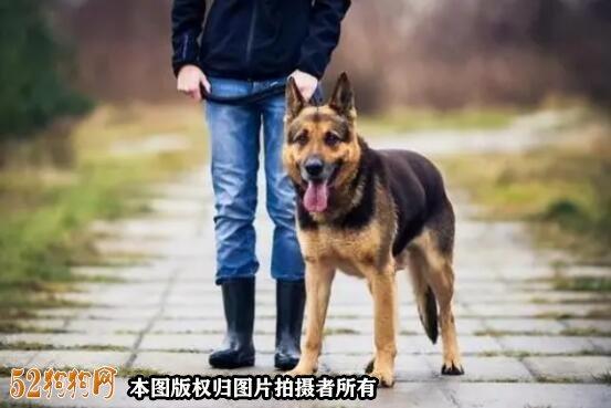 北京德国牧羊犬价格图2