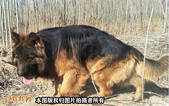北京德国牧羊犬价格图3