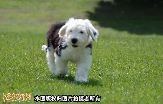 古代牧羊犬幼犬图片4