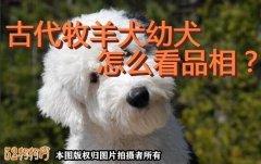 古代牧羊犬幼犬、古代牧羊犬幼犬怎么看品相?